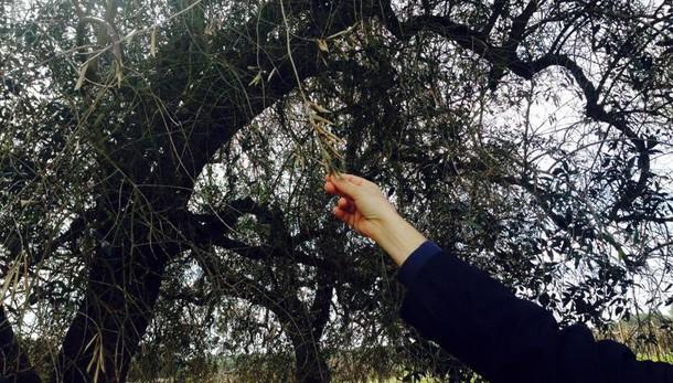 Xylella: Tar Lazio manda atti a Corte Ue