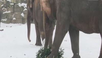 L'albero di Natale lo mangia l'elefante