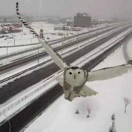 Lo splendido volo del gufo delle nevi ripreso dalla webcam del traffico - Guarda