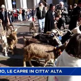 Festival del Pastoralismo, le capre in Città Alta