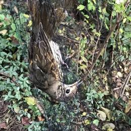 Rete di venti metri per cacciare uccelli Nei guai un 55enne a Chiuduno - foto