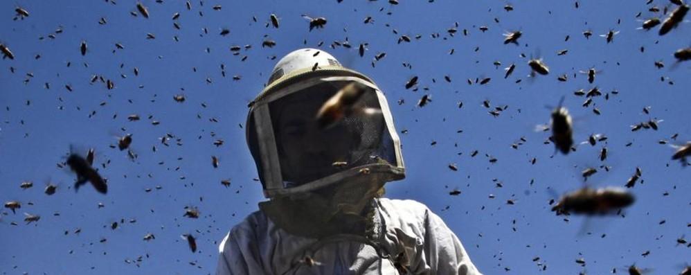 Il caldo anomalo fa risvegliare le api Apicoltori preoccupati: «Effetti micidiali»