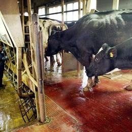 Latte, parlano gli allevatori bergamaschi «Un disastro, così non andiamo avanti»