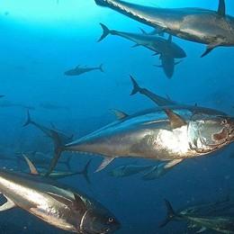 Tonno rosso pescato illegalmente Distrutti una tonnellata e 200 chili