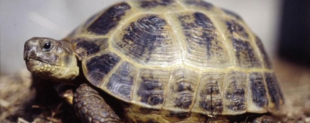 Sequestrate tre tartarughe in un negozio In via di estinzione, multa di 10 mila euro
