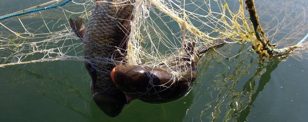 Reti e pesci agonizzanti nell'Adda I pescatori: allerta bracconaggio - Foto