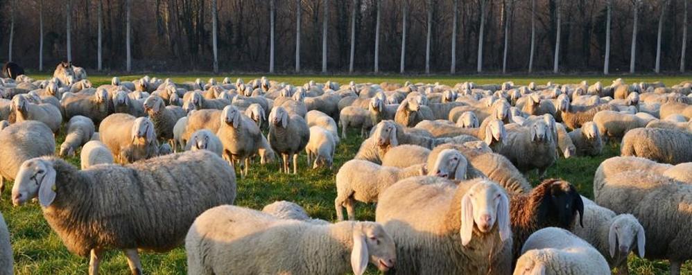 Gregge assoldato come tosaerba Le pecore fanno risparmiare il Comune