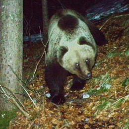 L'orso bruno di Valleve è già una star Ecco il suo selfie con la fototrappola