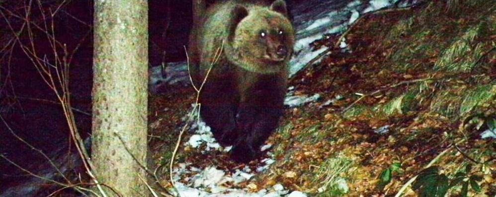L'orso da Valleve a Piazzatorre Ecco come si muove: «Non fa danni»