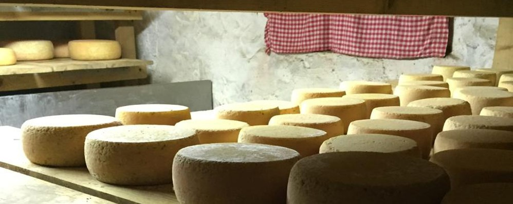 Val Dossana e Val del Riso, il rilancio  parte anche dai formaggi d'alpeggio