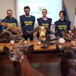 Safari di caccia, trofei  in vendita sul web Blitz della Forestale: scatta il sequestro