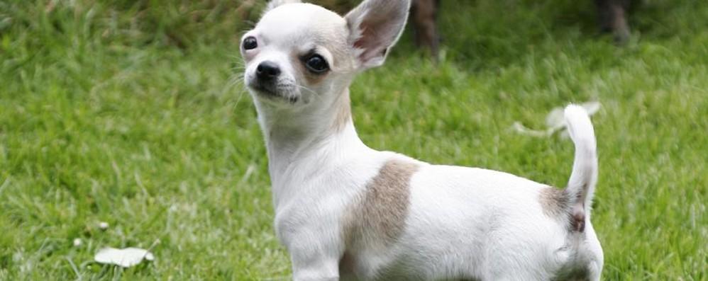 30 mila cani rapiti In pole  i chihuahua