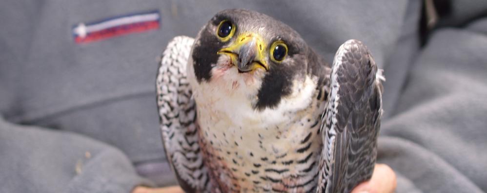 Alla Camera un falco contro i piccioni Fontana: «Per non turbare gli animalisti»