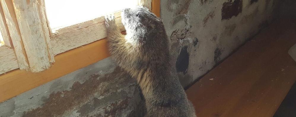 Marmotta chiusa nel bivacco Pedrinelli stava per «mangiare» il rifugio:  liberata