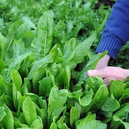 Andare a lavorare con l'orto accanto Zanica, la verdura  si raccoglie in azienda