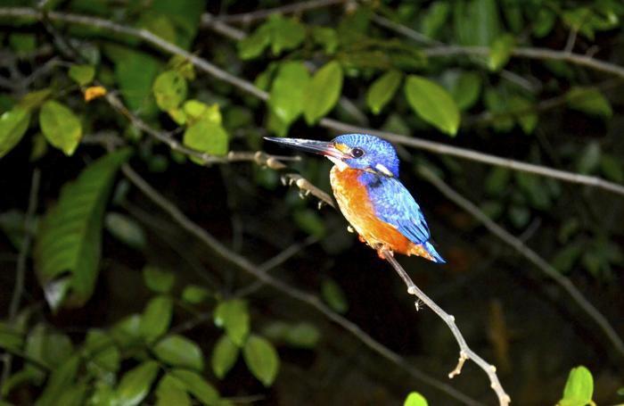 Un martin pescatore, dorme su un ramo. Durante i safari notturni la foresta riserva un mondo diverso