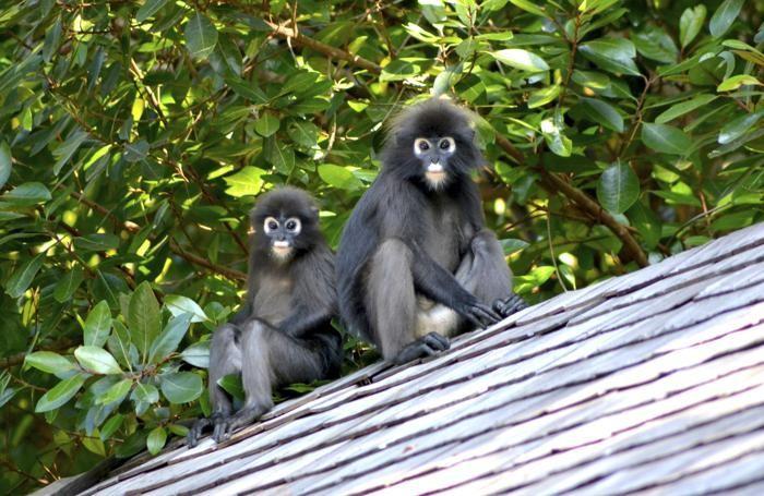Il Borneo è uno degli habitat incontaminato per la vita delle scimmie. Per questo è un luogo di ricerca sulla biodiversità, ed attira scienziati da tutto il mondo.