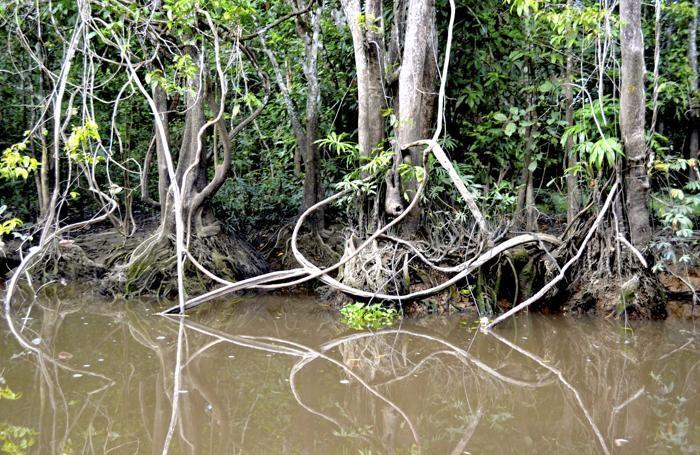 La fitta vegetazione lungo il fiume Kinabatangan permette ai tanti serpenti di mimetizzarsi tra i rami.