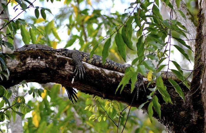 Un alligatore si mimetizza tra i rami. Bisogna stare attenti anche a ciò che sta in alto.