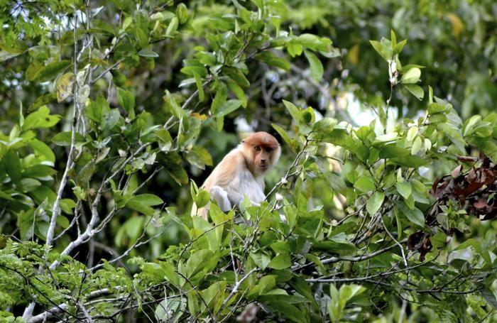 Una scimmia nasica si fa largo tra gli alti alberi. Questo tipo di scimmia è caratterizzato da un naso molto pronunciato.