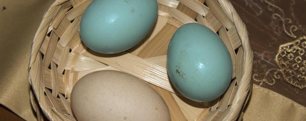 La gallina dalle uova azzurre «Esiste, l'ho fotografata a Sabbio»