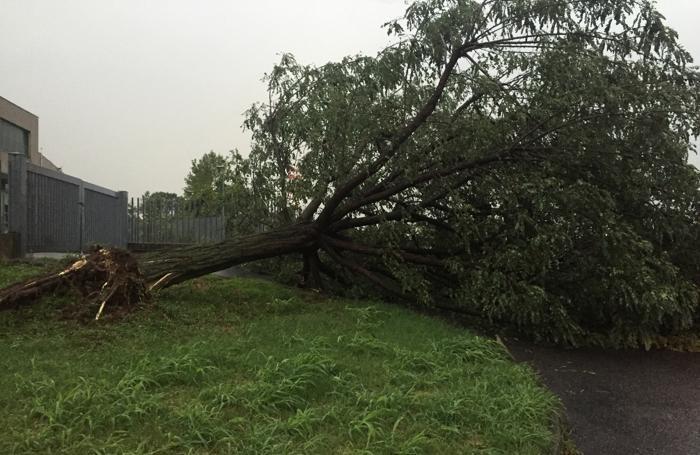 Un albero abbattuto a Osio Sopra