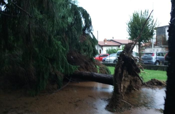 Un pino crollato a Calusco