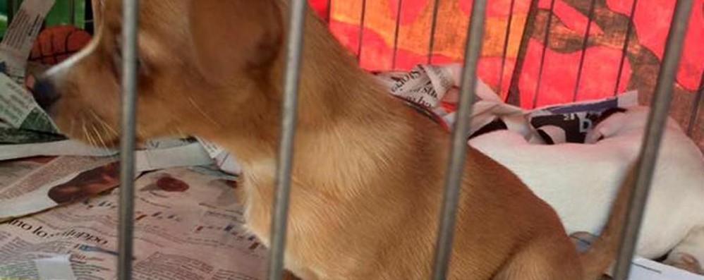 «Ad Almenno cuccioli senza pedigree»  Alla Sagra degli uccelli scatta la denuncia