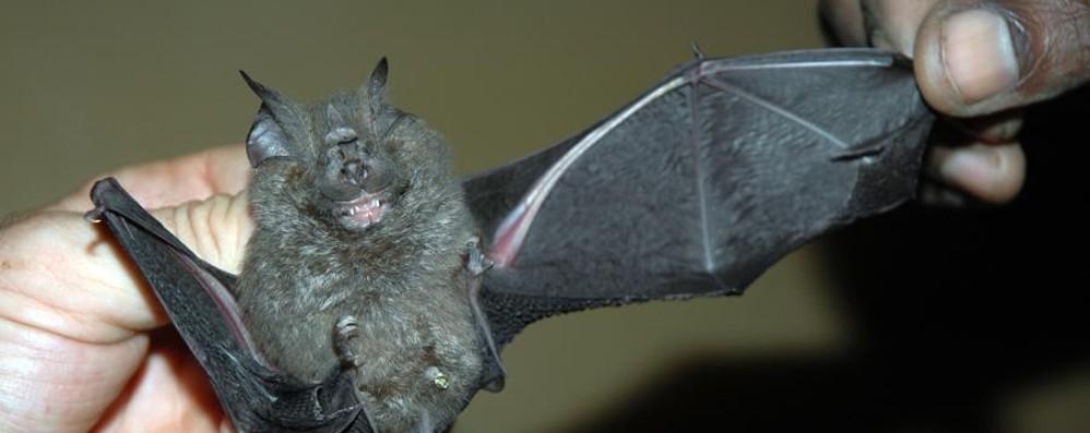 Notte europea dei pipistrelli Stasera appuntamento al Caffi