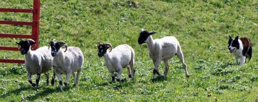 Sheepdog, scatta il campionato nazionale Cani da pastore da tutta Italia a Calcinate