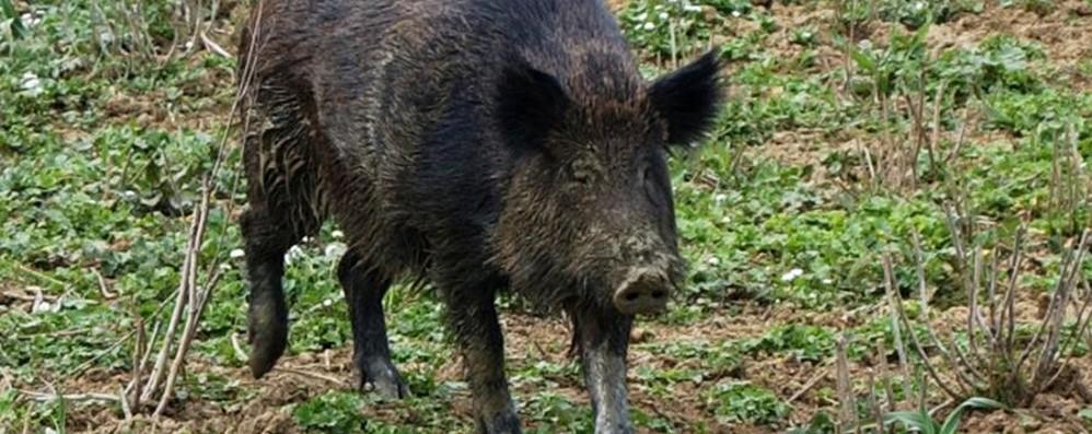 Agricoltori contro l'invasione dei cinghiali Vogliono eliminarli (e magari mangiarseli)