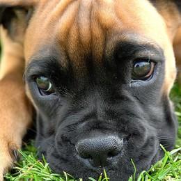 Padrona e cagnolina aggredite da boxer Appello in Fb: il proprietario si è dileguato