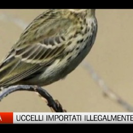 Importazione illegale di uccelli protetti. Otto cacciatori nei guai
