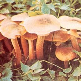 Scatta l'allarme funghi In un mese 10 intossicati