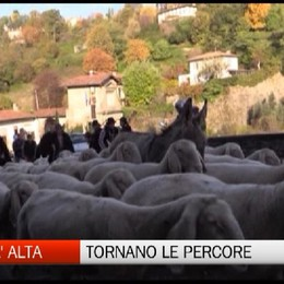 Torna il Festival del pastoralismo  Weekend con le pecore in Città Alta