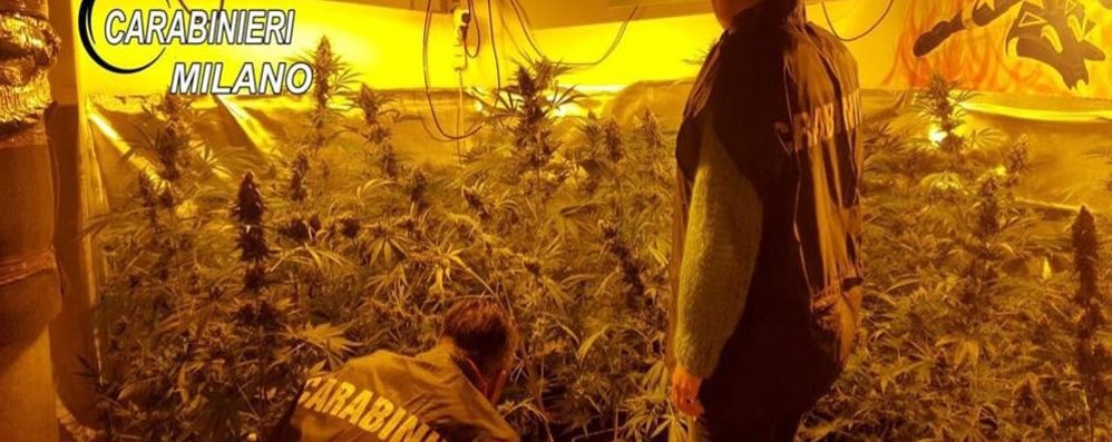 Serra artigianale di marijuana in casa Arrestato 25enne di Almenno