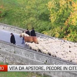 Le pecore in città, che spettacolo «Vita da pastore, fatica e passione»