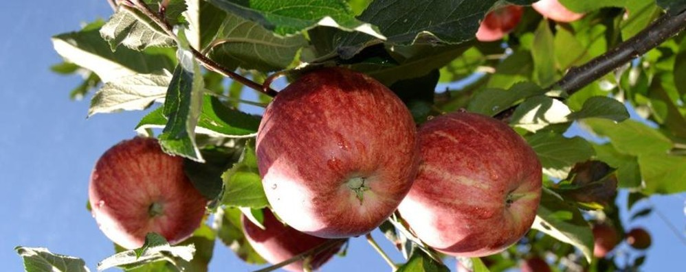 A Vedeseta le mele in piazza Tra gusti, sapori e bontà