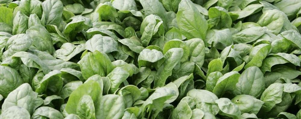 Caso degli spinaci con la mandragora Quattro i lotti ritirati in Nord Italia