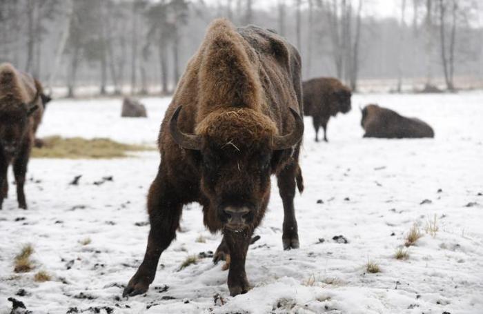 Incontri ravvicinati con i bufali