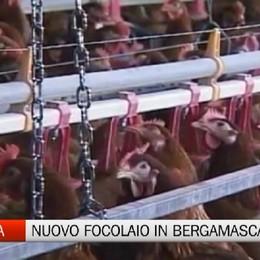 Aviaria - Nuovo focolaio in Bergamasca