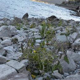 Il Sebino si restringe e sulla riva spuntano piantine di pomodori quasi mature