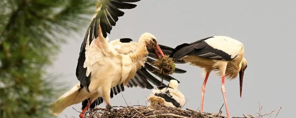 Tornano le cicogne nella Bergamasca Mancavano da 100 anni - Le foto