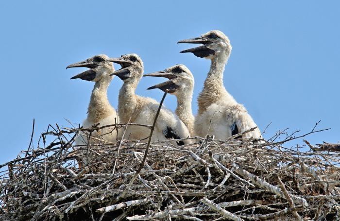 I «pulli», piccoli di cicogna nati in Bergamasca