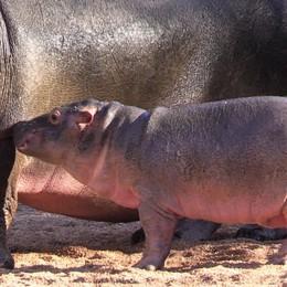 Baby Hippo al Parco Le Cornelle Il nome? Si decide su Facebook