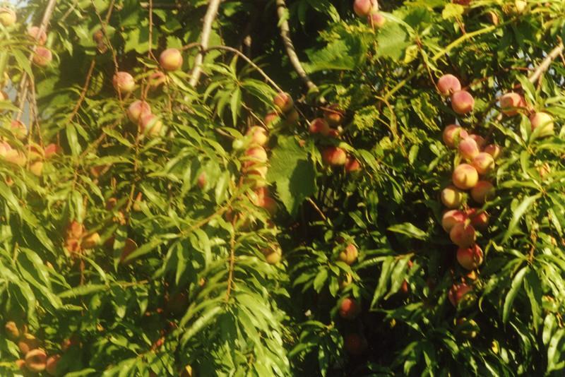 Potatura alberi da frutto marted 07 marzo 2017 20 30 for Potatura alberi da frutto