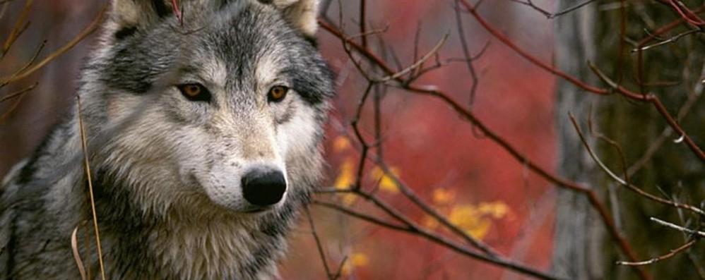 Non si riapre la caccia al lupo Esultano gli ambientalisti