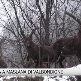 Nevicata a Maslana di Valbondione  Gli stambecchi apprezzano - Video