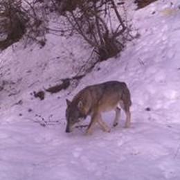 Attenti al lupo (delle Orobie) Ecco SO M01 al Mortirolo