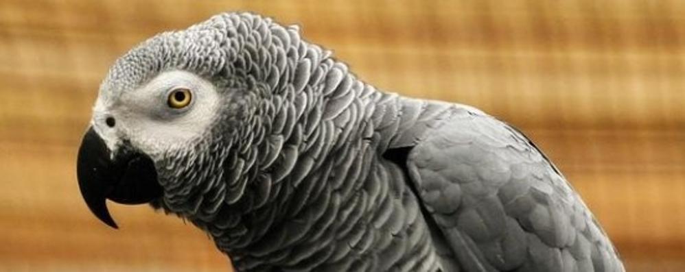 Il pappagallo cenerino? Da denunciare  Chi non lo fa rischia 3 mila euro di multa